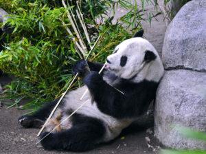 SDZ - Panda 3 a little tongue - 96dpi