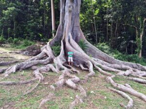 Check out the roots of this Silk Cotton Tree
