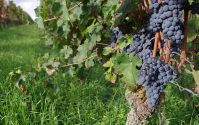 Cabernet Franc in Chinon: Hard to find but easy to drink